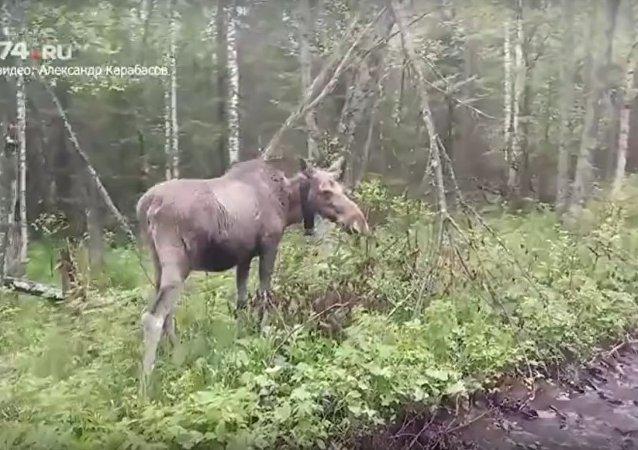 Туристы встретили в лесу необычного проводника