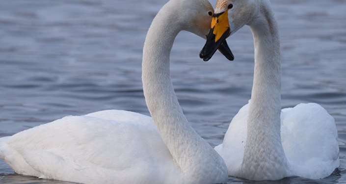 Wave of New Bird Flu Strain Cause Swans to Bleed and Die in Britain