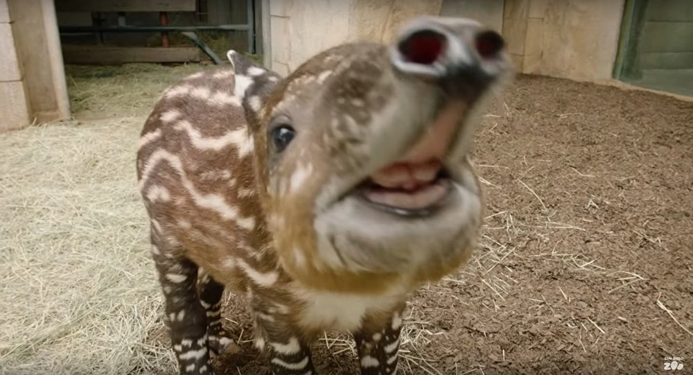 Endangered Baby Tapir Tests His Tiny Trunk