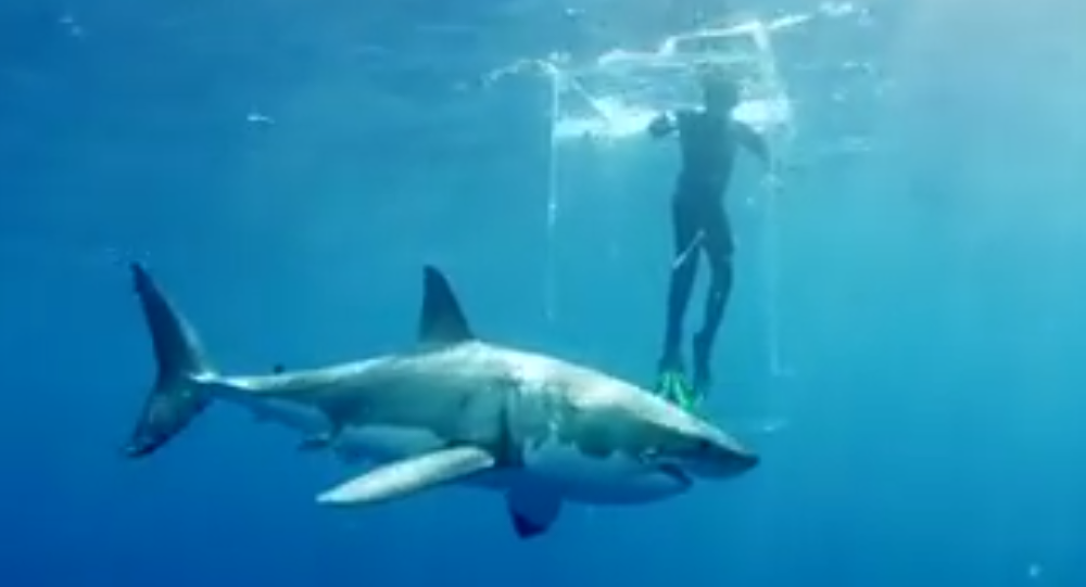 Sharks Almost Broke Diver's Ghost Cage. 2018
