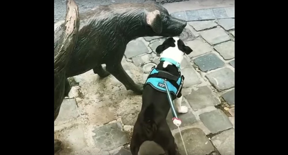Boston Terrier Frantically Barks at Dog Statue