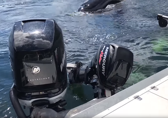 Seal Takes Refuge From Orcas on Boat's Stern