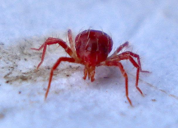 British Spiders, Phytoseiulus persimilis