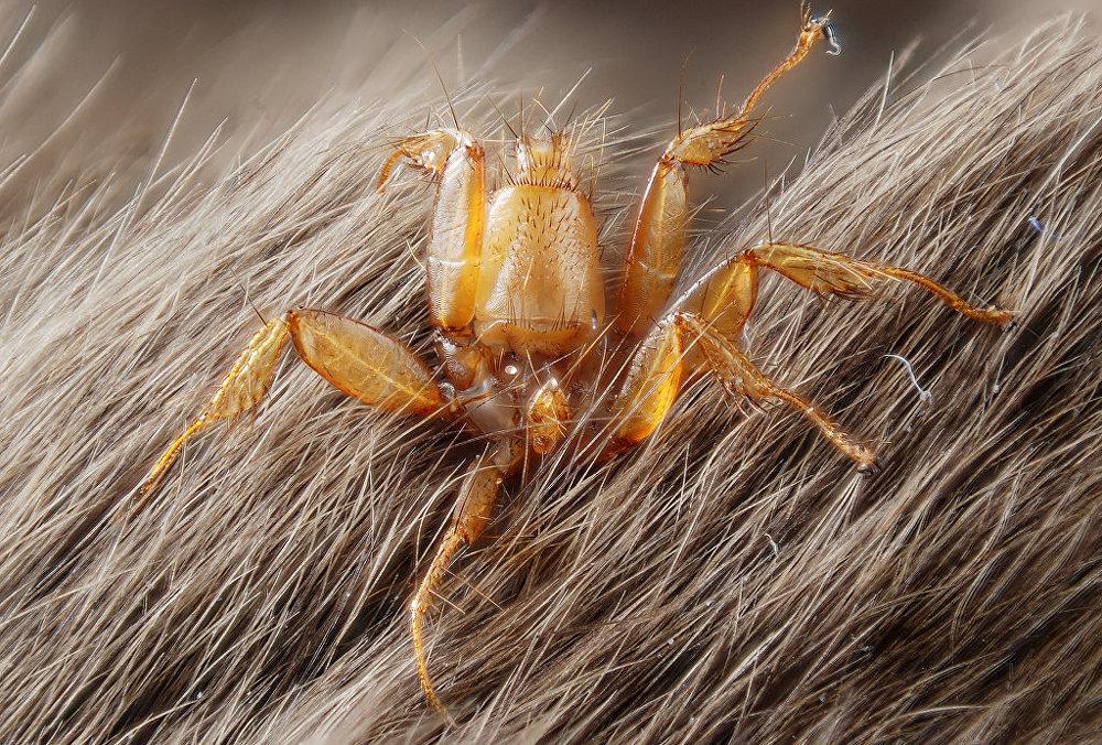 Nycteribiidae (parasite fly living on bats)