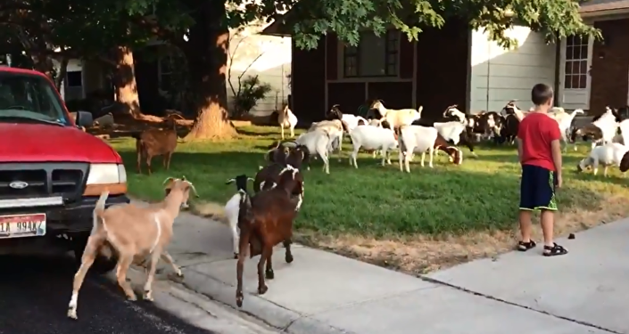Herd of goats invade Boise, Idaho, neighborhood