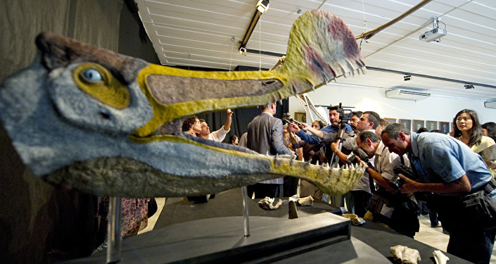Fossils and replicas of a Pterosaur of the Tropeognathus Mesembrinus species are displayed at the National Museum of the Federal University of Rio de Janeiro, Brazil on March 20, 2013