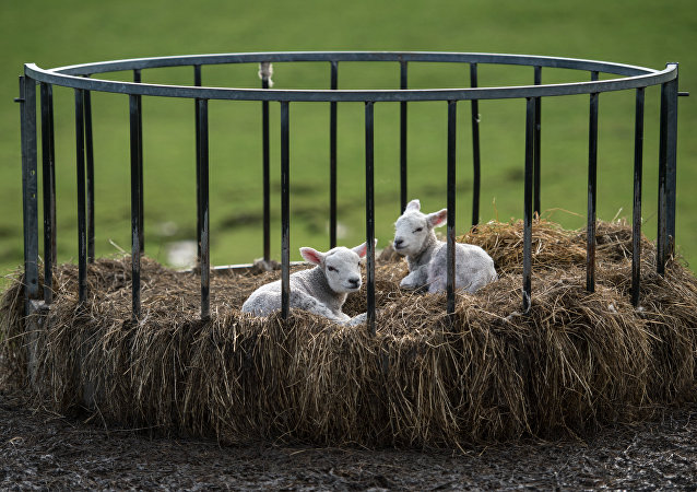 Two newborn lambs sit in a bale feeder on Pip Simpson's farm on Wansfell hill, above Troutbeck village in the Lake District National Park, near the town of Ambleside, northern England on April 18, 2018