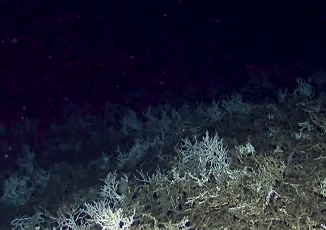 Cold water coral reef discovered off the coast of Charleston, South Carolina, by researchers from the Deep Search expedition