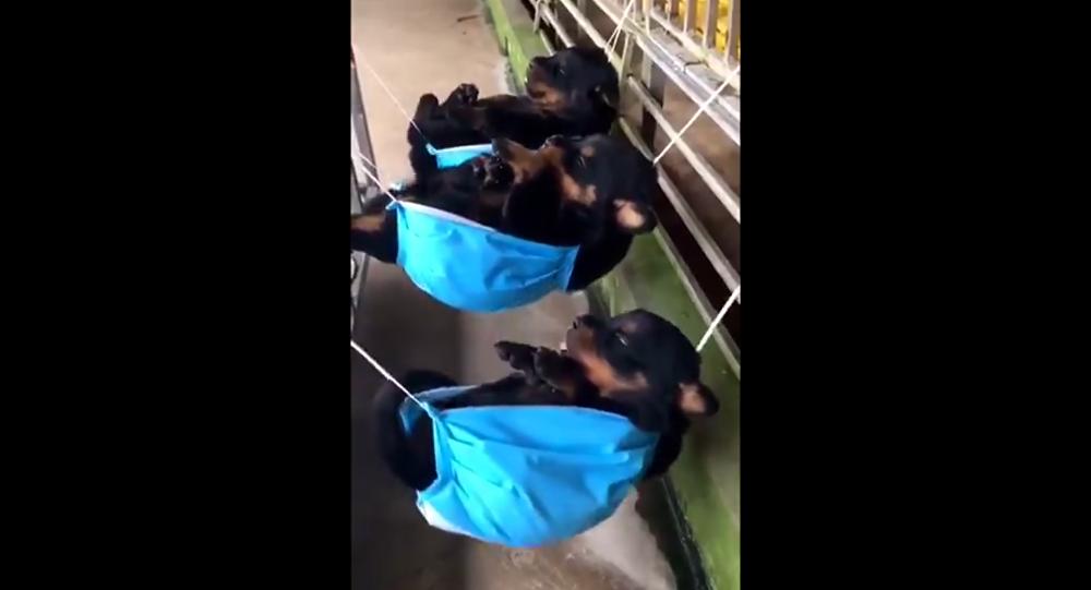 Rottweiler puppies in hammocks