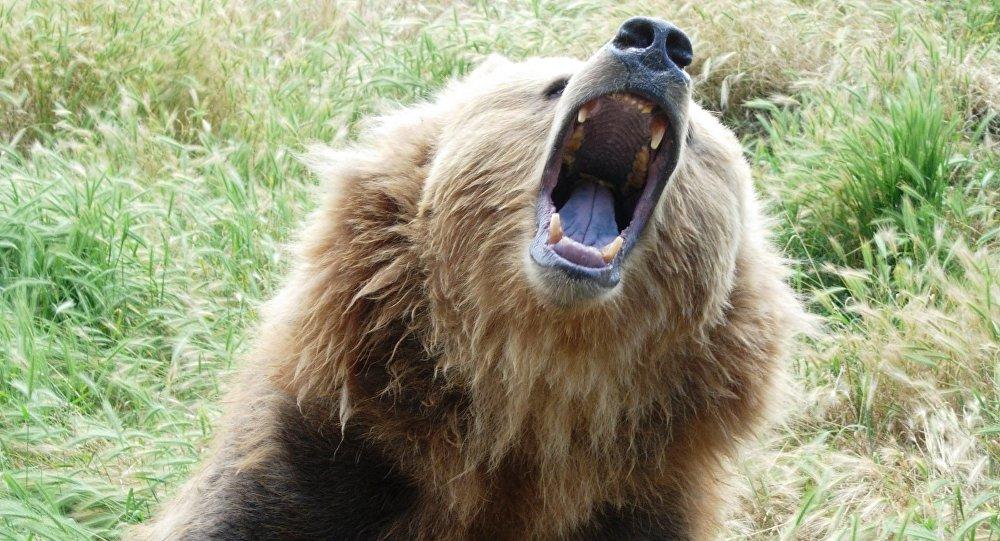 Growling bear