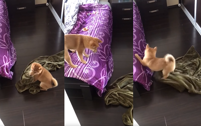 Struggle Pup: Shiba Inu Attempts to Take Blanket to Bed