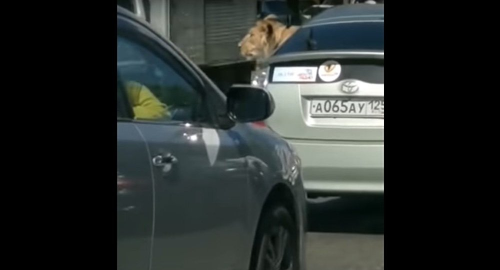 A Ride Away From the Pride: Lion Spotted Traveling in Car in Vladivostok