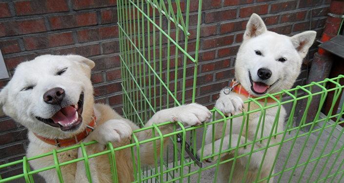 Poongsan dogs