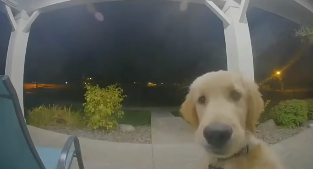 Runaway Golden Retriever Puppy Returns, Rings Doorbell for Entry