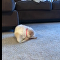 Golden Retriever Puppy Playing With Its Tail