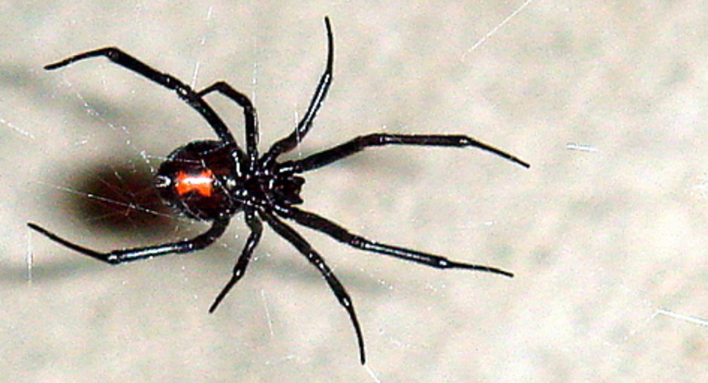 This large female black widow (~18 mm) was found on a 5 foot web in Westminster CA on 11/18/2006. This photo shows the textbook red hourglass on the abdomen as well as the legs and mouth.