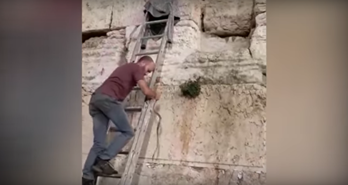 Snake wriggles out of the Western Wall