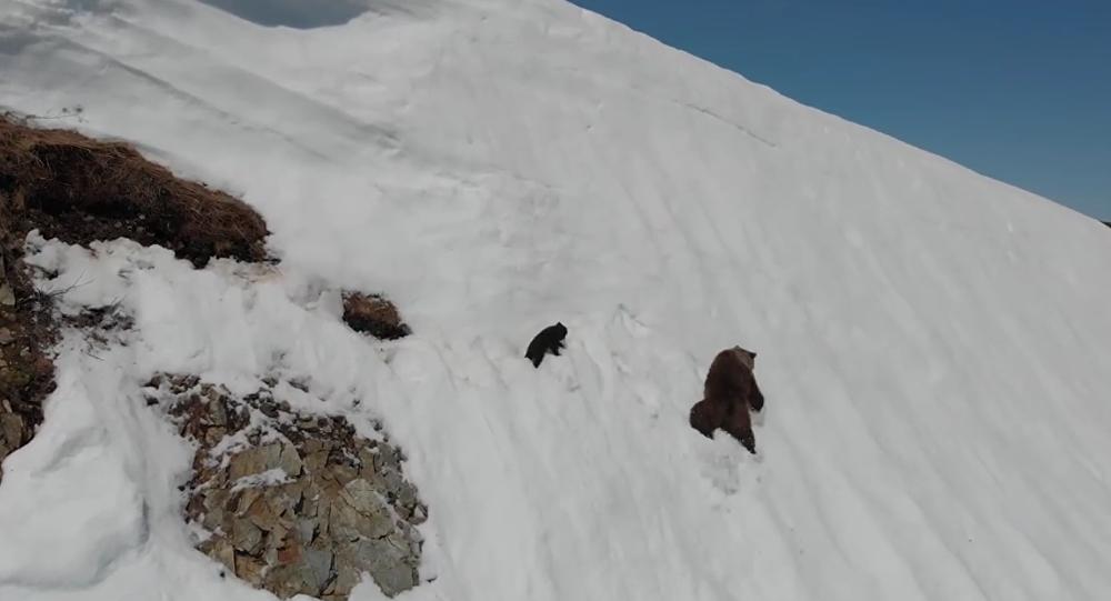 Fallen Bear Cub Climbs Back to Mama