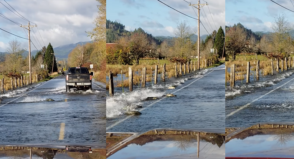 Fishtailing? Washington Chum Salmon Cross Road After Flooding