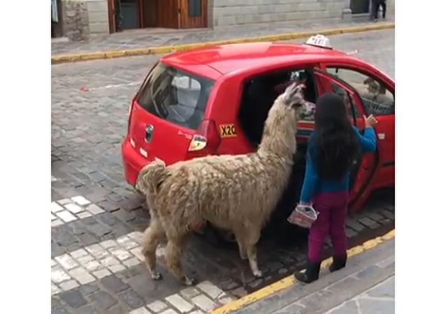Alpaca Takes a Cab
