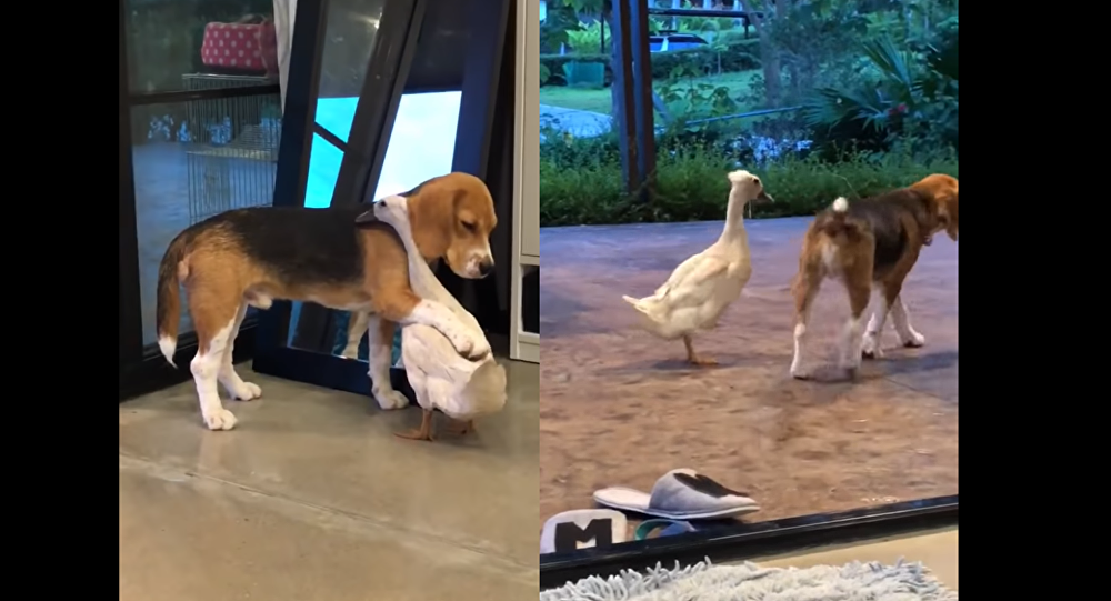 Uncommon Coupling: Beagle and Duck Prove Inseparable