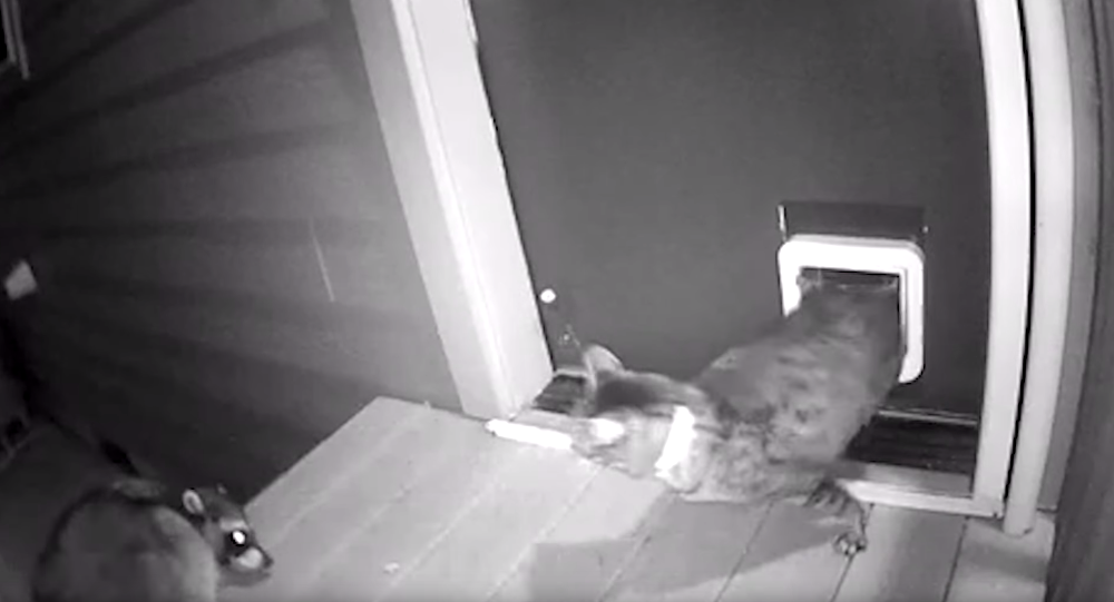 Protective Puss Defends House From Rogue Raccoon