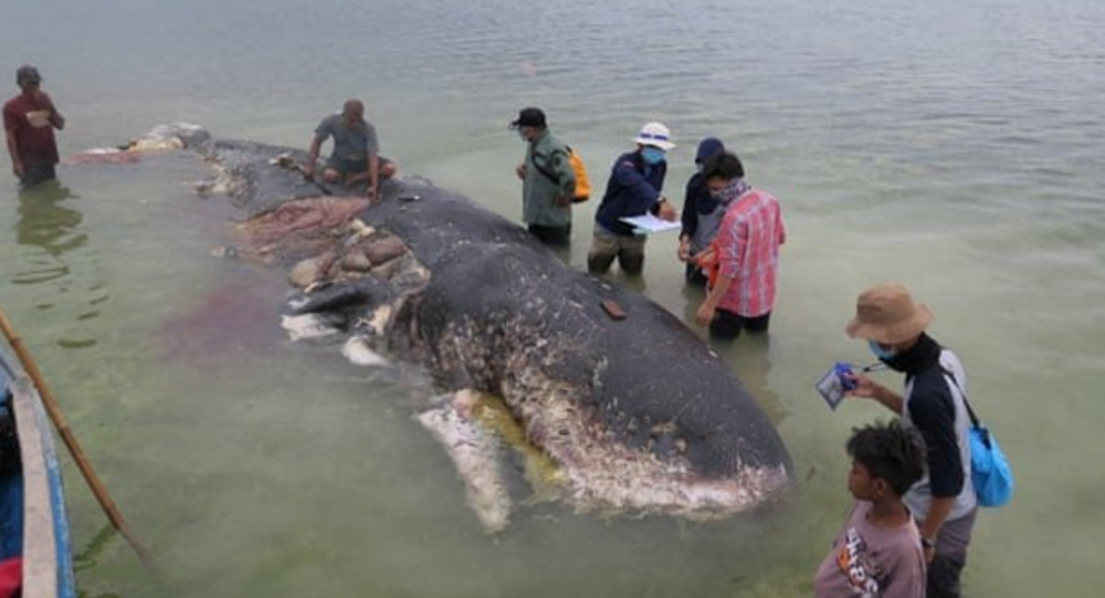 Dead Sperm Whale in Indonesia Found With 6 kg of Trash in Stomach
