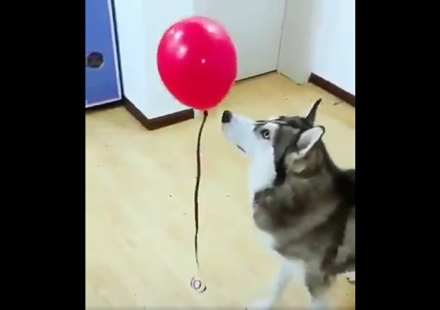 Husky gently booping a balloon
