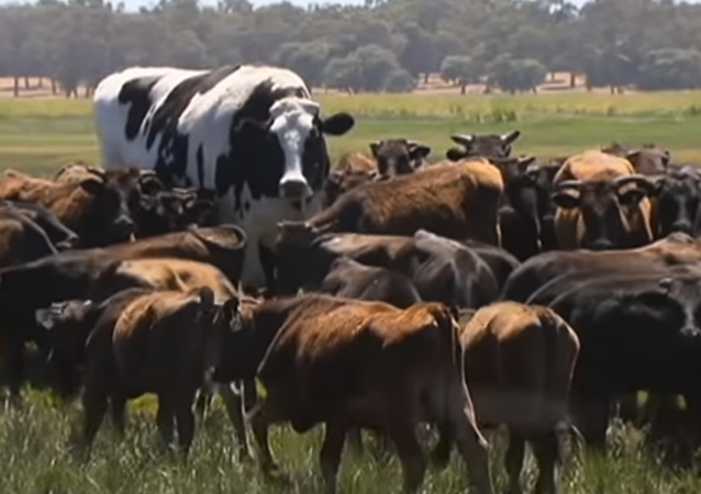 Knickers the Holstein Friesian Australian steer takes the internet by storm