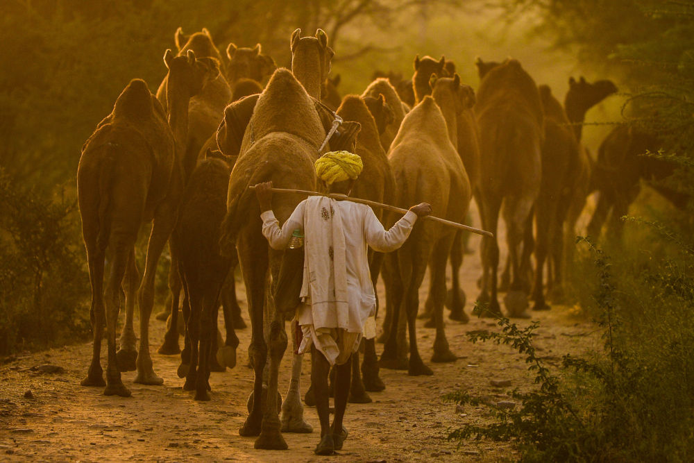 A camel herder walks along his camels following the Pushkar Camel Fair
