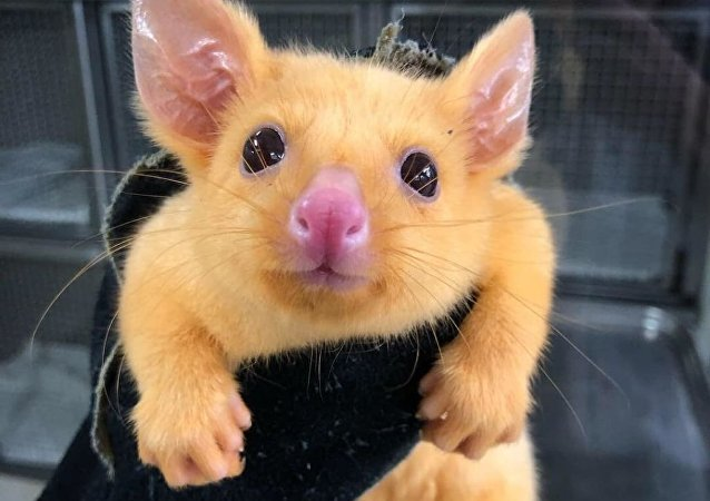 Pikachu the golden possum
