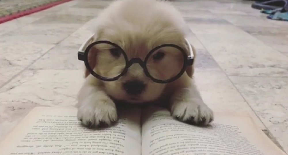Fluffy Golden Retriever Pup is Tired of Reading - Sputnik