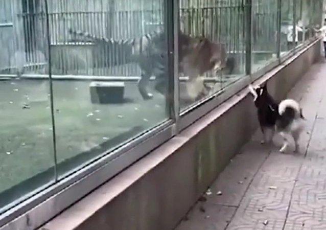 Dog and tiger