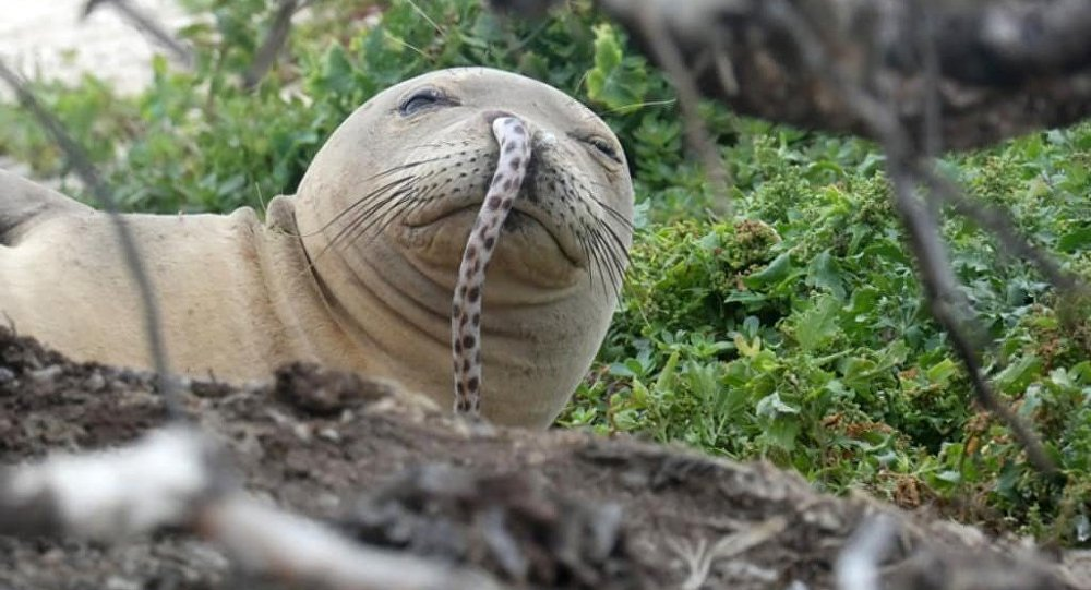 A juvenile Hawaiian monk seal was found with a spotted eel in its nose at French Frigate Shoals in the Northwestern Hawaiian Islands