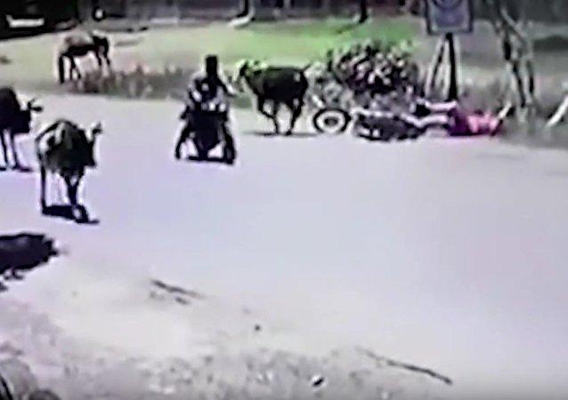 Корова в прыжке сбила мотоциклистку