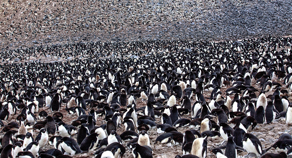 on Paulet Island...more Adelie Penguins (Pygoscelis adeliae) with young chicks..in and around the remains of the rock shelter where 23 shipwrecked men spenta desparate winter of 1903...