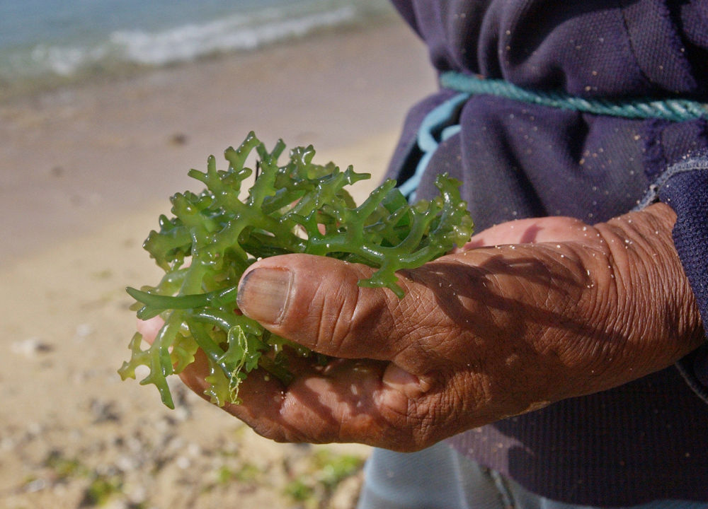 Wayan Surde, 75, holds the intertidal variety of seaweed called Codium, off the shores of the Indian Ocean, in Nusa Dua, Bali