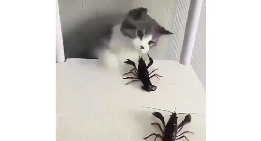 Cat VS Crayfish