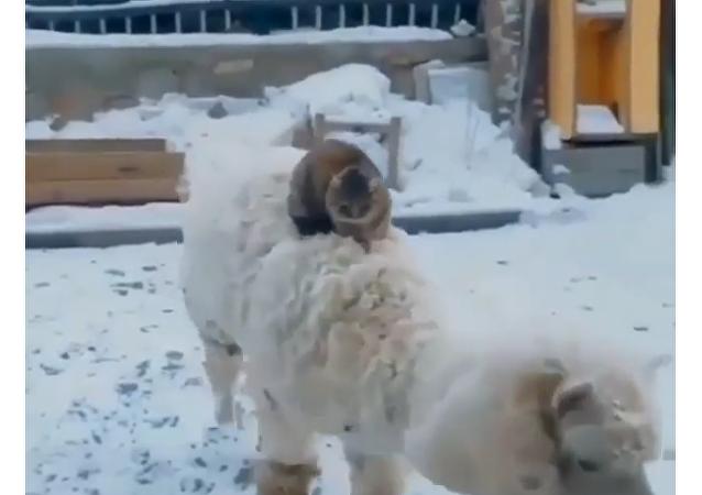 Cat Riding Sheep