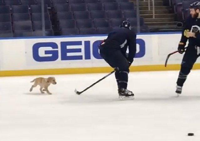 Hockey puppy