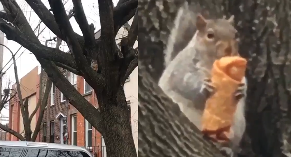 Large squirrel chows down on egg roll