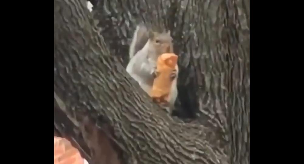 Squirrel eats eggroll