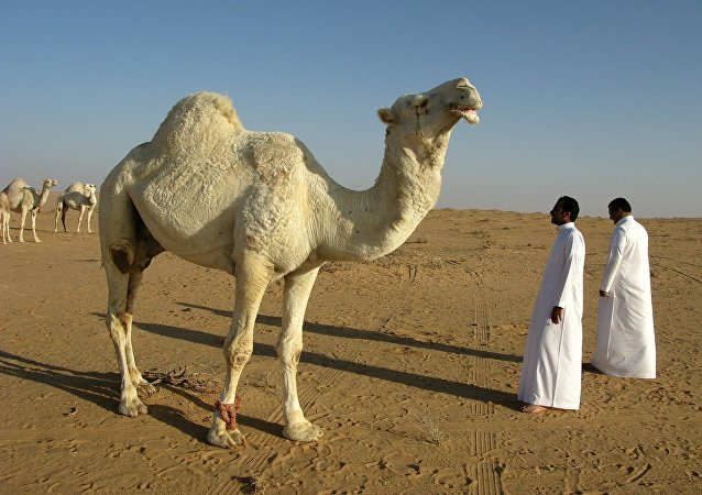 Camel in Saudi Arabia