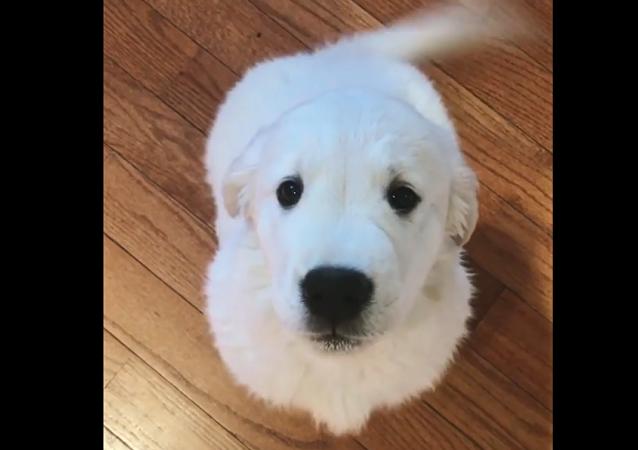 Voli, the Golden retriever puppy