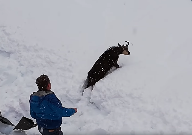 Lucky Kid! Austria Railway Workers Rescue Goat Stuck in Snowdrift