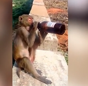 Monkey Drinks Free Booze