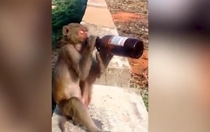 Monkey Drinks Free Booze