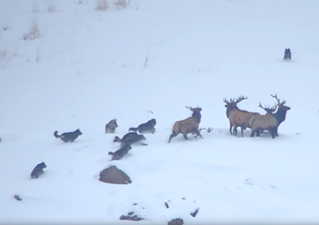 Elk Evade Wolves, Achieve Higher Ground During Snowy Showdown