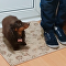 Miniature Dachshund Exhibits Paw-Perfect Etiquette