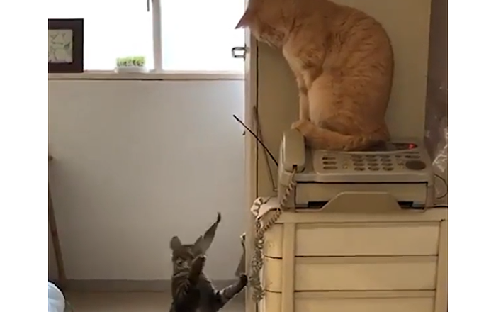 Cat Hits Its Feline Pal With Fish Toy